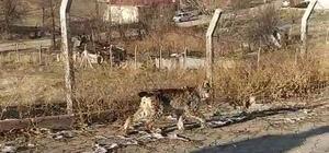 Nadir görülen vahşi hayvan ilçe merkezine indi Doğada nadir görülen vaşak, Sivas'ın Divriği ilçesinde sokakta gezinirken vatandaşlar tarafından cep telefonuyla görüntülendi
