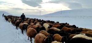 Karlı yollarda küçükbaş hayvanların zorlu yolculuğu