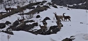 Yaban keçileri için karlı dağlara çıkan ekipler yem bıraktı Bingöl'de 2 bin 500 rakımlı Şeytan dağlarında yaban keçileri görüntülenirken, bölgeye giden ekipler onlar için yem bıraktı