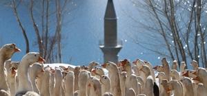 Kar manzarasıyla bütünleşen baraj ortasındaki minare görenleri mest etti Sivas'ın Hafik ilçesin de bulunan Pusat-Özen barajının ortasında kalan cami minaresi kar yağışıyla birlikte güzel görüntüler sundu