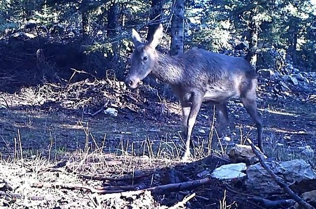 Geyiklerin beslenme anları foto kapanda Kahramanmaraş'ın Başkonuş Yaylası'nda yaşayan yaklaşık 350 geyik için doğaya yem bırakıldı Bölgedeki geyiklerin beslenmeleri foto kapanlarla görüntülendi