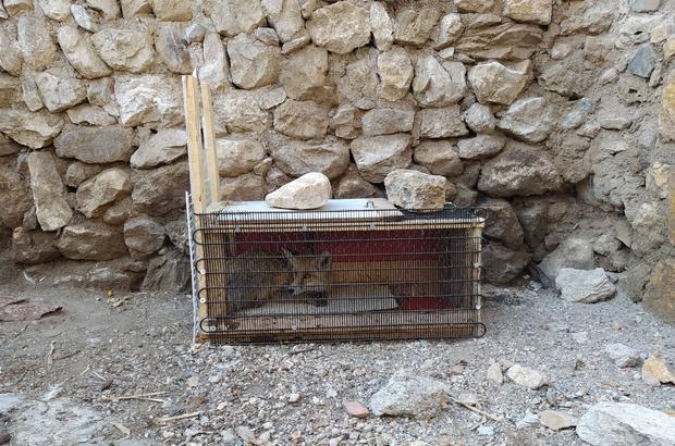 Tavuk hırsızı kurnaz tilki, Sivaslının tuzağına düştü Sivas'ın Yıldızeli ilçesinde süs tavuğu besleyen Atakan Yaşin, tavuklarının kaybolması üzerine kümese güvenlik kamerası kurdu. Buna rağmen 3 bin lira değerindeki 6 tavuğunu çalınan Yaşin, tavuk hırsızı kurnaz tilkiyi kurduğu tuzakla yakaladı