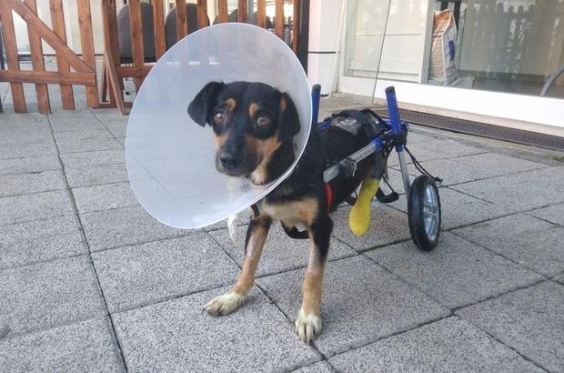 Canice bacakları kesilen köpeğe yürüteç takıldı Türkiye'nin yüreğini sızlatan köpekten sevindirici haber