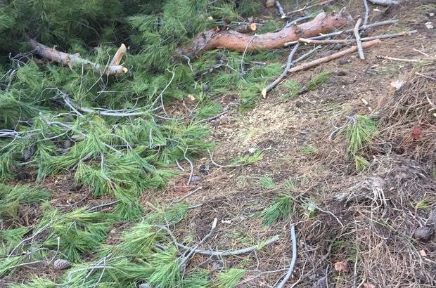 50 tane çam ağacını tarlaya gittiğinde kesilmiş ve yakılmış halde buldu Tarlada katliam; 50 çam ağacı kesilmiş halde bulundu