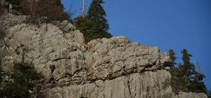 Toroslar'ın dağ keçileri sarp kayalıklarda görüntülendi