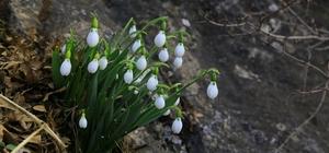 Orta Toroslarda kardelenler kara hasret çiçek açtı