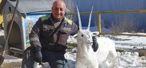 Kardan keçi yaptı