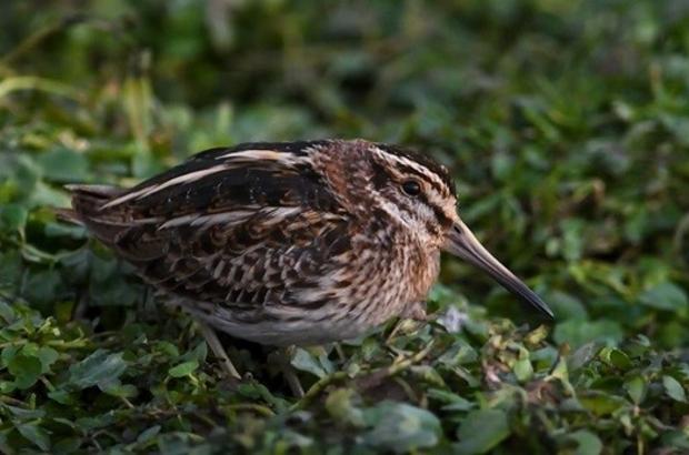 Bu kuş dans ediyor Küçük su çulluğu kuşunun keyifli anları objektiflere yansıdı
