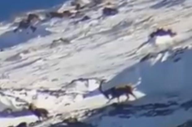 Yahyalı'da yaban keçileri görüntülendi