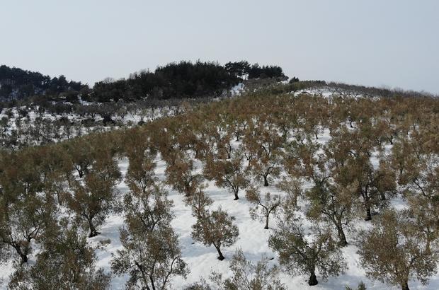 """(Özel) Zeytinleri ağaçları yanan köylüler: """"Destek olunmazsa aç kalırız"""" 3 yıl mahsul alamayacak köylü destek bekliyor"""
