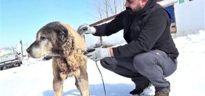 Türkiye'nin en yaşlıları arasında, yıllara meydan okuyor Sivas'ın Altınyayla ilçesinde Türkiye'nin en yaşlı köpeklerinden biri olan 18 yaşındaki Şerkan adlı Kangal köpeği, ilerleyen yaşına rağmen yıllara meydan okuyor