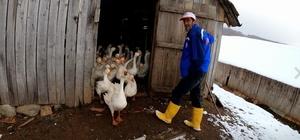 (Özel) Kazların efendisi 200 kaz ile tabiatta tek başına yaşıyor Korona virüs kaz etine rağbeti arttırdı Kolojen ihtiva eden kazlar pandemide yok satıyor