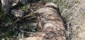 Mersin'de kırma Kangal cinsi 3 köpek ölü bulundu