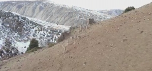 Hiç bu kadarı bir arada görüntülenmemişti Sivas'ın Divriği ilçesinde doğaya yem bırakan Jandarma ekipleri, drone ile sayıları 15'i geçen yaban keçilerini bir arada görüntüledi