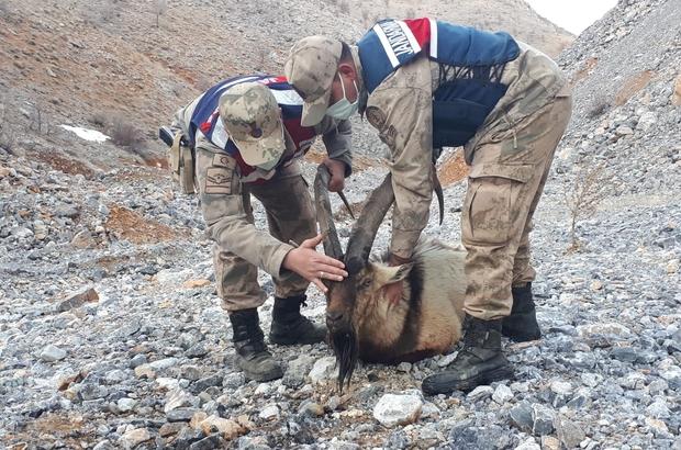 Yaralı dağ keçisinin yardımına jandarma koştu