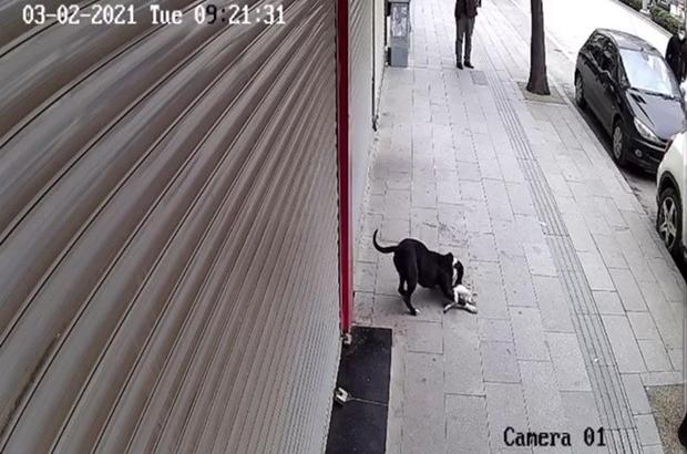 Hatay'da pitbull dehşeti Pitbull cinsi köpek, sokak kedisine saldırıp telef etti