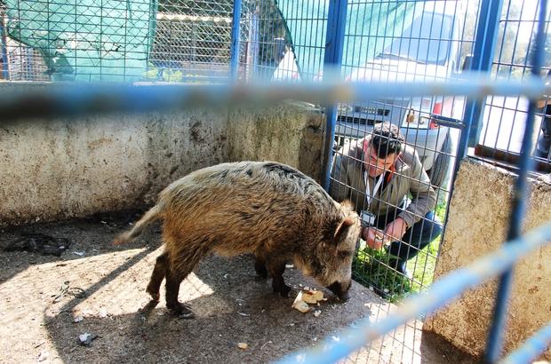Domuz Ceyar'la belediye şoförünün dostluğu görenleri şaşırttı Yaban domuzunu evcilleştirip elleriyle besledi