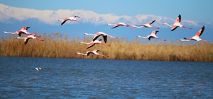 Flamingoların gökyüzü dansı Adana'da flamingolar ve sakarmekeler doğa harikası Akyatan Lagünü'nü renklendirdi