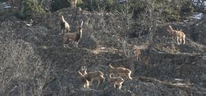 Tunceli'de yaban keçileri görüntülendi, tek boynuzlu olan dikkat çekti