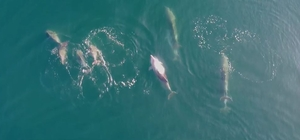 Yunusların deniz keyfi droneye takıldı