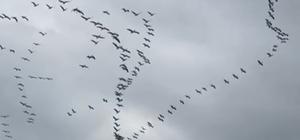 Göç yolundaki Pelikanlardan muhteşem gösteri