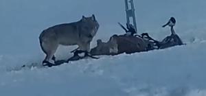 Çoban köpeğinin kurtlarla dansı Onlarla gezip, onlarla besleniyor