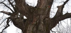 Bin 100 yıllık tescilli kestane ağacı tarihe tanıklık ediyor Hüzünlü hikayesiyle ilgi çekiyor
