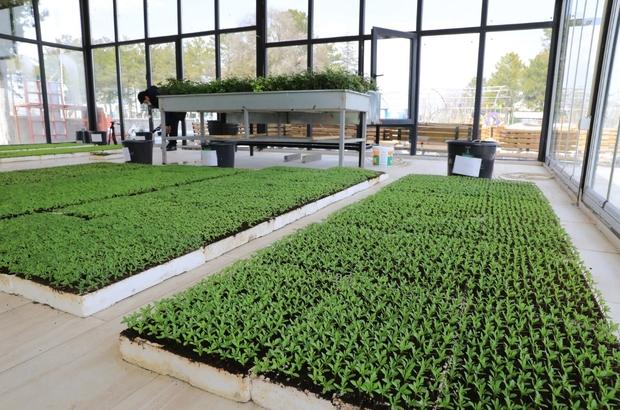 Battalgazi'de cam seralarda süs çiçekleri yetiştiriciliyor
