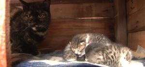 'Kestane'den 'insanlık' dersi, üç yavru kediye süt annelik yapıyor