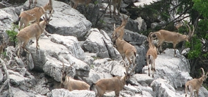 Ekipler kaçak avcılara göz açtırmıyor Denetimler sayesinde yaban keçileri artık çıplak gözle görülebiliyor