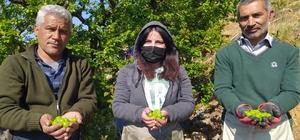 Silifke'de açıkta erik hasadı başladı İlk çıktığında kilosu yaklaşık 200 liradan alıcı bulan can eriğinin kilosu açıkta hasadın başlamasıyla 30 ila 40 liraya kadar düştü