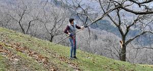 Kestane ağaçları iyileşiyor Büyükşehir kestane kanseriyle mücadelede üreticinin yanında
