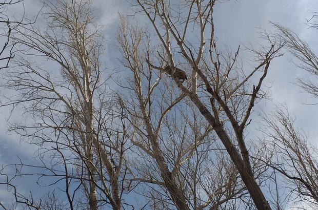 Köpeklerde korkan vaşak ağaca tırmandı Sivas'ta köpeklerden korkup kaçarak ağaca tırmanan vaşak görenlerde şaşkınlığa neden oldu