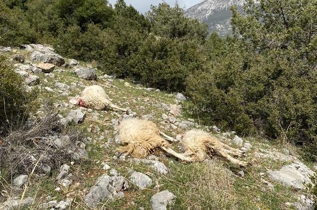 Sürüye saldıran kurt 13 koyunu telef etti Uzun zamandır kurt saldırılarının hedefi olan yetiştirici yardım istedi