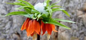 Hüzün çiçeği karlar altında kaldı Kar ile buluşan ters laleler kartpostallık görüntüler oluşturdu