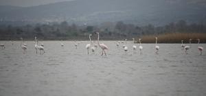 Göç eden flamingolar Çanakkale Tarihi Ala'nda durakladı Flamingolar Tarihi Alan'daki Suvla Gölü'ne akın etti Çanakkale Savaşları'nın yaşandığı Tarihi Gelibolu Yarımadası'ndaki flamingolar renkli görüntüler oluşturdu