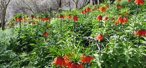(Özel haber) Bahçesaray ilçesinde açan ters laleler göz kamaştırıyor Seyredene bedava, koparana 80 bin lira ceza