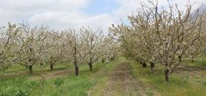 Isparta'da kiraz bahçeleri bu yıl da boş kaldı