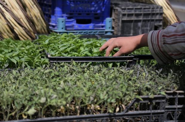Tam kapanmada üretime devam eden çiftçilere fide desteği Belediyelerden ortak proje ile çiftçiye 400 bin sebze fidesi desteği