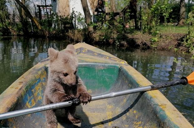 Böyle tatlı ayı görmediniz Ormandan yolunu kaybeden yavru ayı, kendisini bulan vatandaşların evinde maskot oldu Oyuncaklar ile oynadı, kayığa bindi