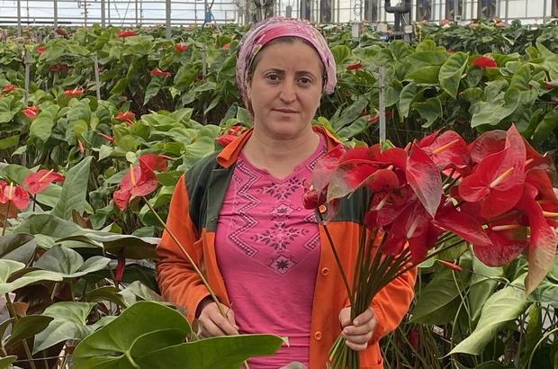 (Özel) Topraksız tarımın en uzun ömürlü çiçeği Antalya'dan Avrupa ülkelerine gönderiliyor Antoryum çiçeği, Dal fiyatı 8 liradan Romanya, Ukrayna ve Bulgaristan'a ihraç ediliyor 365 gün hasat yapılıyor, topraksız üretimle yüzde 40 daha fazla verim alınıyor