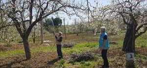 Şaphane'de meyve bahçelerinde ilaçlama çalışmaları
