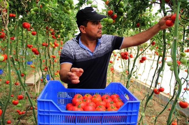 """Zam şampiyonu domatesin üreticiye faydası yok Toptancı halinde kilogramı ancak 1-1,5 TL arasında alıcı buluyor Antalyalı üreticiler: """"Kimse şampiyon ortaya çıksın"""" Markette kilogramı 8-10 TL olan domates, toptancı halinde kilogramı ancak 1-1.5 TL arasında alıcı buluyor"""