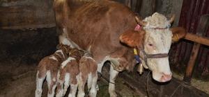 2 yaşındaki inek 'üçüz' doğurdu: Herkes görmeye geliyor Bir buzağı beklerken 3 buzağıları birden olan aile hem şaşkın hem de mutlu