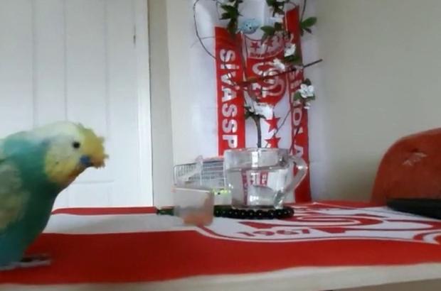 Sivasspor aşığı muhabbet kuşu tezahüratlarıyla dikkat çekiyor Bu kuş Sivasspor aşığı!
