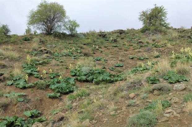 Adeta kanser savaşçısı doğada kendiliğinden yetişiyor faydası saymakla bitmiyor Sivas'ta dağlık alanlarda kendiliğinden yetişen ve kanser savaşçısı olarak bilinen ışkın otunun faydaları saymakla bitmiyor