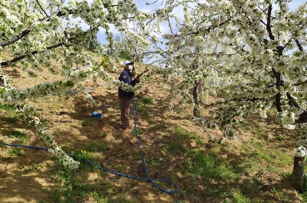 Meyve bahçelerinde zirai mücadele çalışmaları devam ediyor