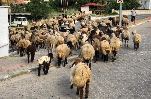 (Özel) Turizm kentinin sokaklarını mera gibi kullandı Yaylaya çıkma izni olmayınca koyunlarını turizmin göbeğinde otlattı