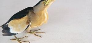 Datça'da yaralı Balaban kuşu bulundu Nesli tükenme tehlikesi ile karşı karşıya olan ve yaralı bulunan Balaban kuşu Doğa Koruma ve Milli Parklar Müdürlüğü yetkililerine teslim edildi.