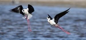 (Özel haber) Van Gölü Havzası göçmen kuşlarla renklendi